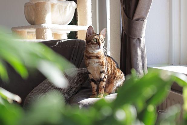 Bengaal Cattery - Kaja Cattery - Leopard