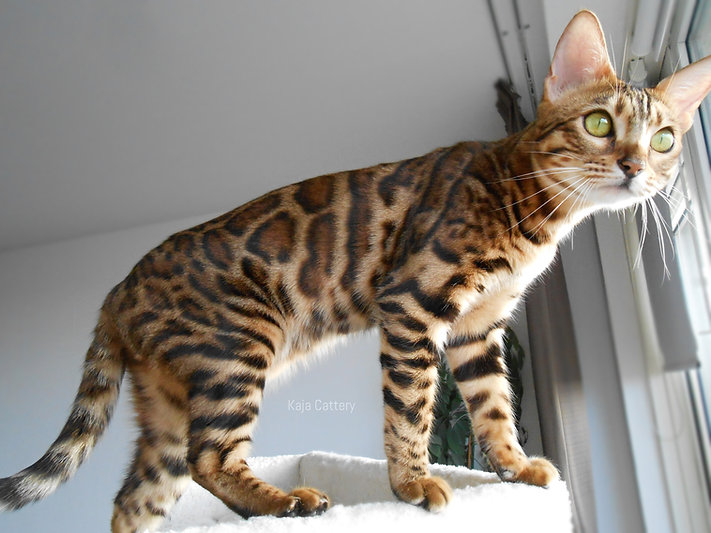 Bengaal Cattery - Bengal Cat Kaja Divine