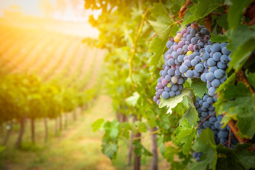 Vineyard - 1.jpg