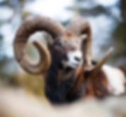 Central European Mouflon
