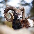 European Mouflon Ram