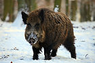 Eurasian Wild Boar