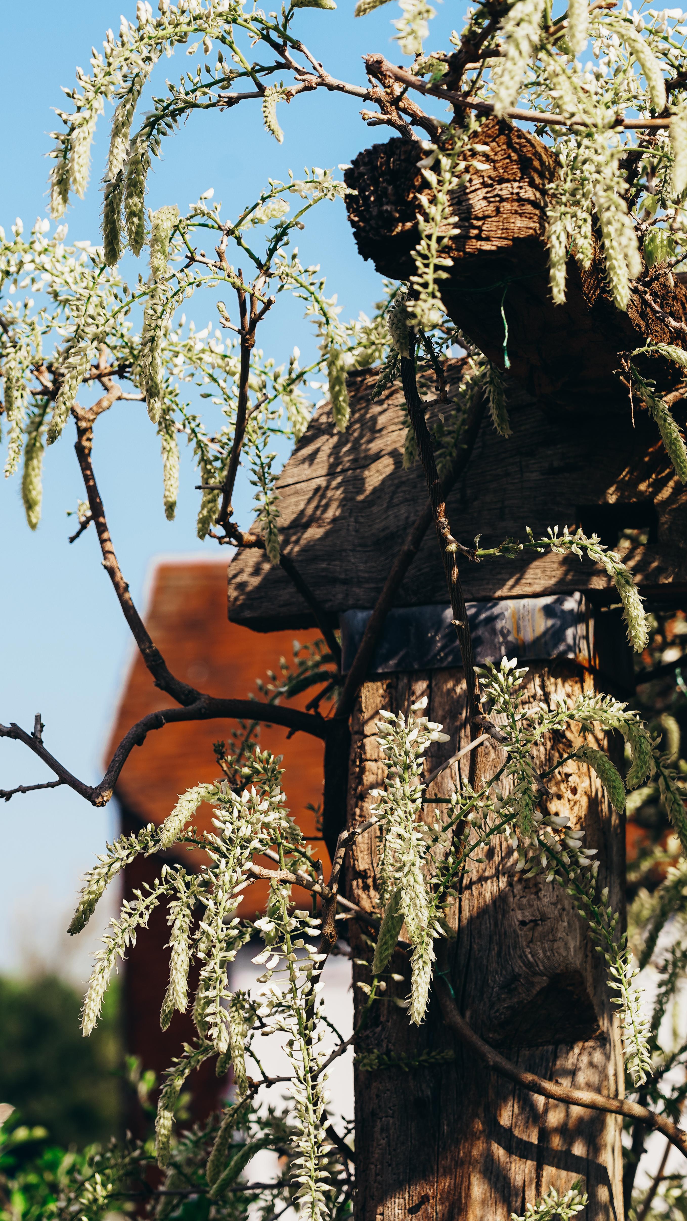 wisteria close 2