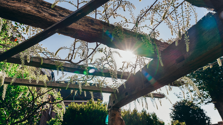sun in wisteria buds