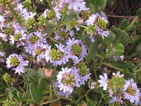 scaevola-crassifolia-171108a.jpg