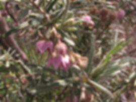 guichenotia-ledifolia-091008b.jpg