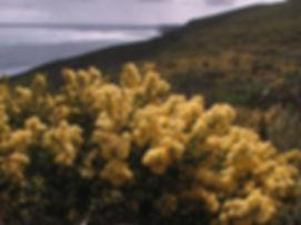 acacia-littorea2-170908.jpg
