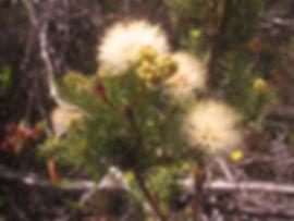 melaleuca-systena-131208.jpg