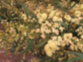 acacia-myrtifolia1-150908.jpg