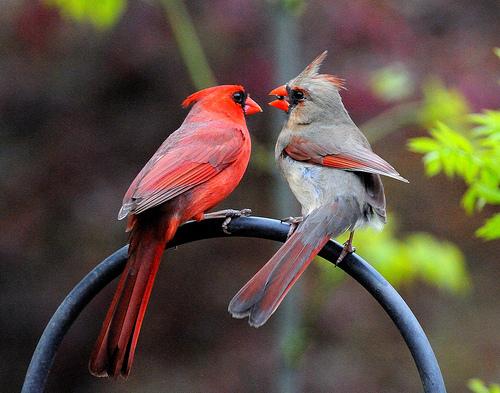 Cardianl_couple