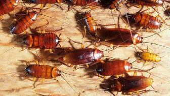 Cockroahes.jpg