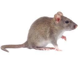 rodent .jpg