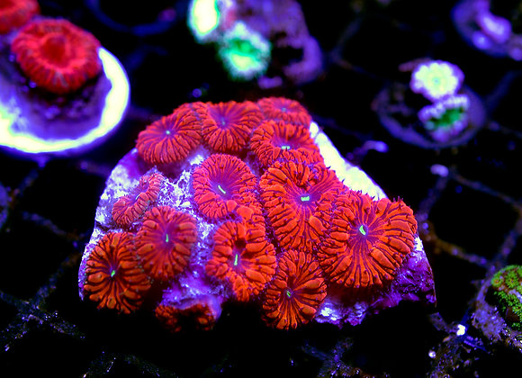 Ultra indo blasto colony