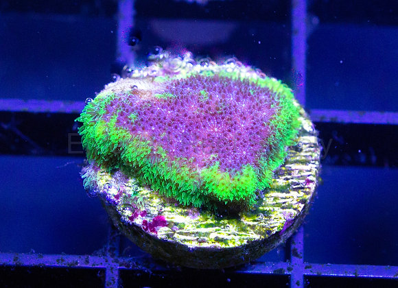 Grape Ape Psammacora Aquacultured