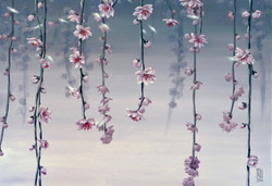 Cherry Blossoms and Fog