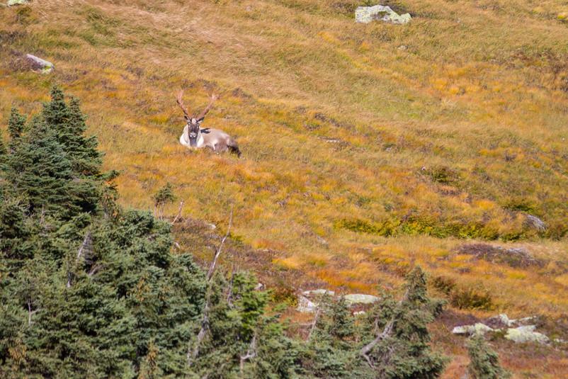 Caribou au repos / Resting caribou