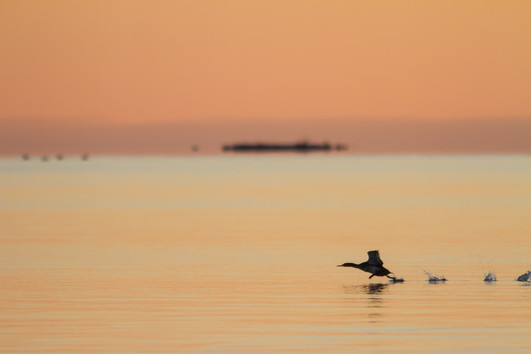 Harle au couchant / Merganser and sunset