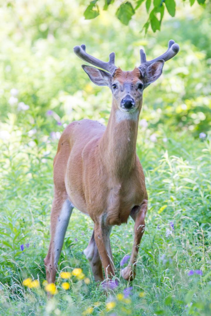Cerf en velours / Velvet antlers