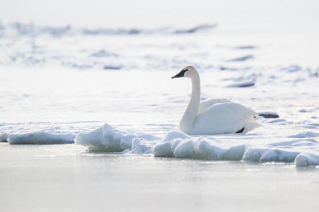 Repos sur la glace / Ice rest