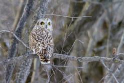 Le regard du Hibou des marais. The look of the short-eared owl.