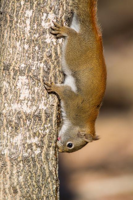 Ecureuil gourmand / Gourmet squirrel