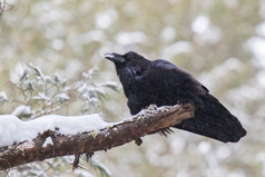 Grand corbeau paradant / Parading raven
