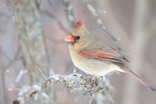 Le bec plein de neige / snow-filles beak