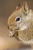 Portrait d'écureuil / Squirrel portrait