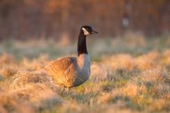Bernache du Canada matinale / Canada Goose at morning