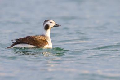 Harelde boréale (femelle) / Long-tailed duck (femelle)