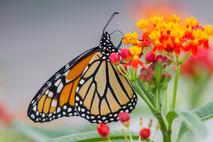 Monarque butinant / Monarch having lunch