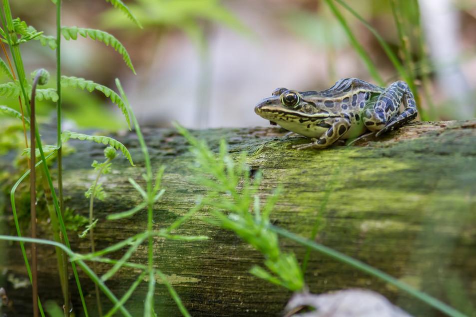 Grenouille léopard / Northern Leopard Frog