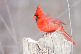 Cardinal rouge/ Red cardinal