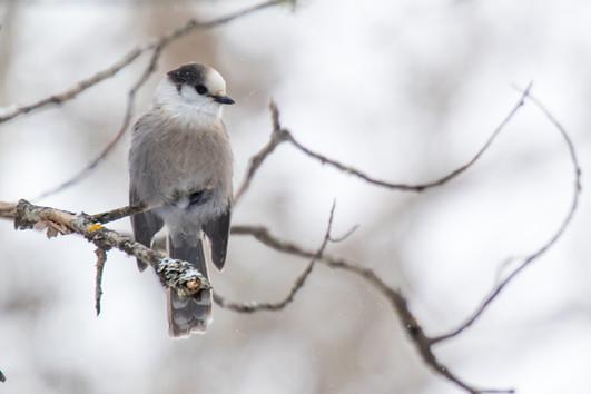 Mésangeai du Canada / Grey Jay
