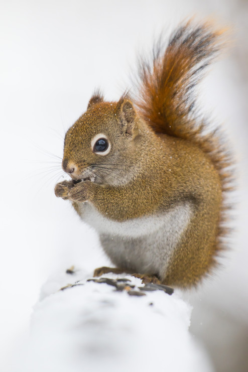 Ecureuil roux gourmand / Red Squirrel