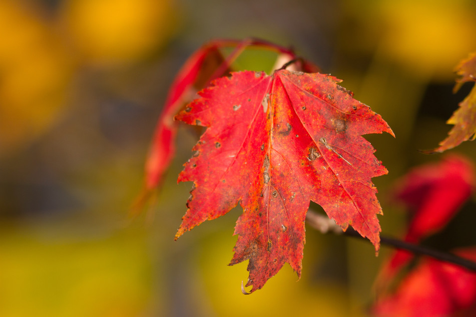 La feuille rouge / The red leaf