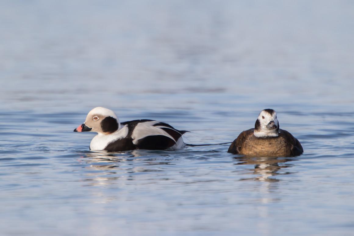 Couple d'hareldes / Long-tailed duck couple
