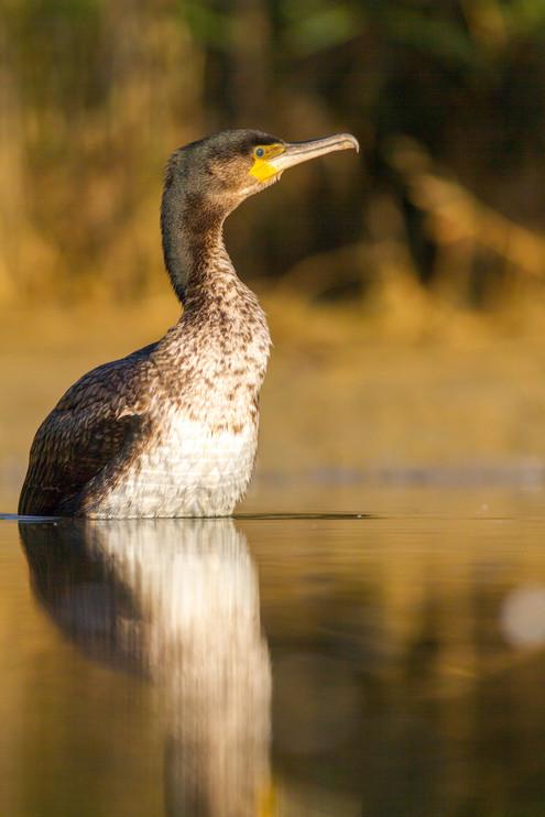 Le bain du Cormoran