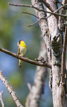 Le chant de la Paruline masquée / Common yellowthroat warbler singing