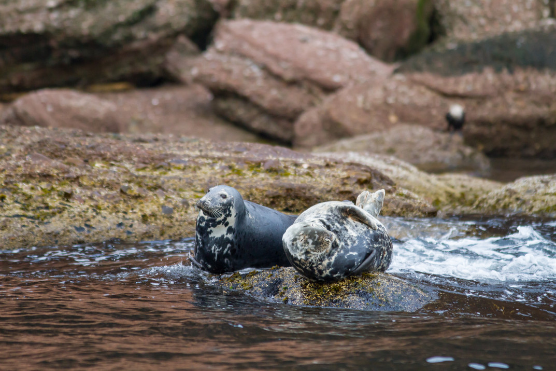Phoques gris au repos / Grey seals resting