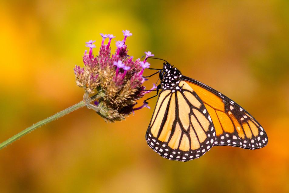 Monarque aux couleurs de l'automne / Fall colors monarch
