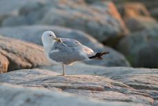 Goéland à bec cerclé / Ringed-billed gull