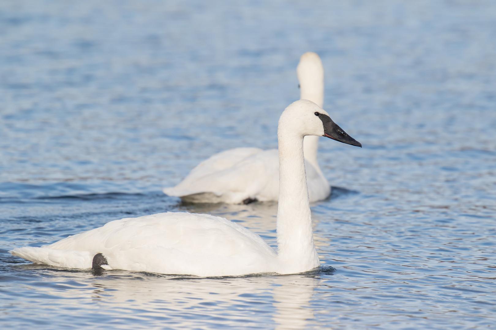 Portrait de trompette / Trumpetter swan portrait