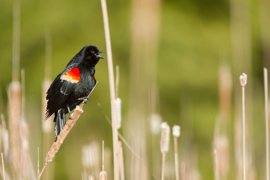 Le chant du carouge à épaulette / Red-winged Blackbird singing