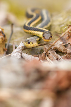 Accouplement de couleuvres / Rater snake mating