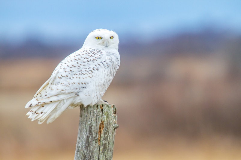 Harfang posté/Posted Snowy Owl