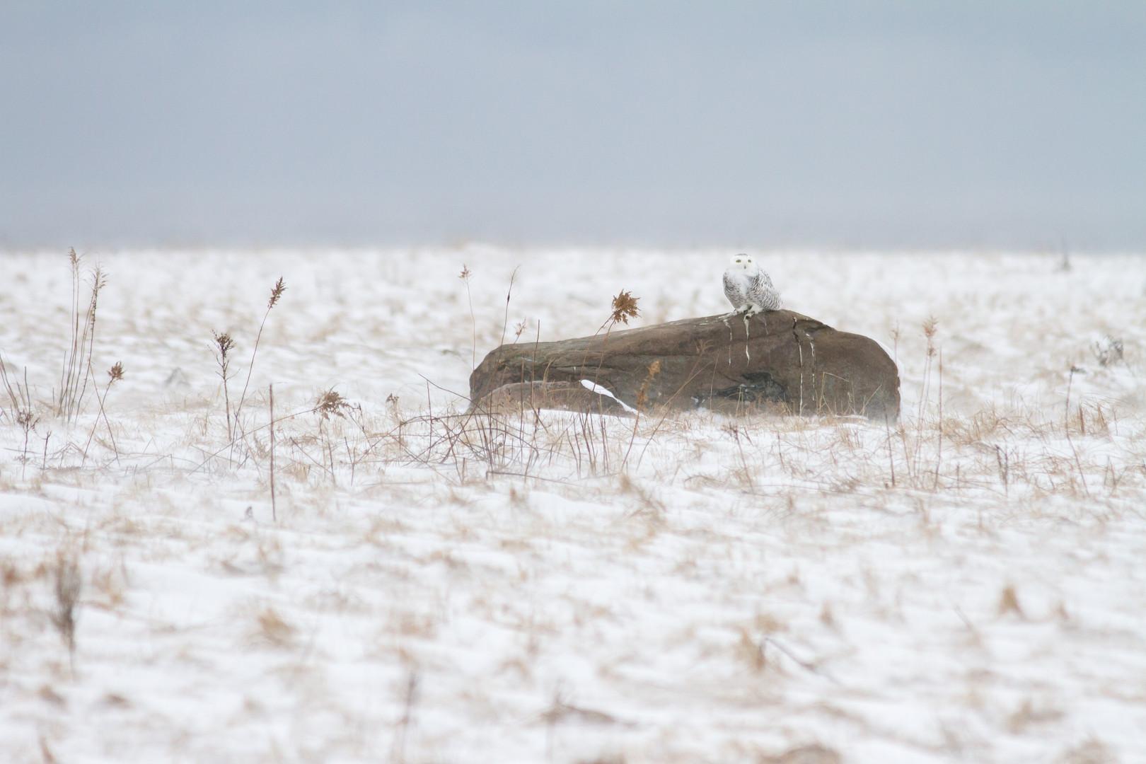 Caché parmi la neige/ Hidden among the snow