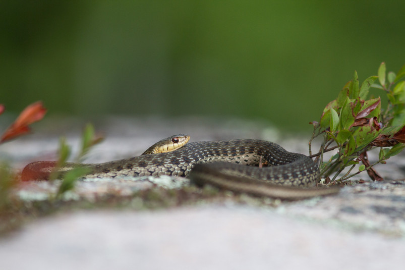 Couleuvre au soleil / Rater snake sun-bathing