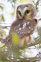 Petite nyctale/ Saw-Whet-owl