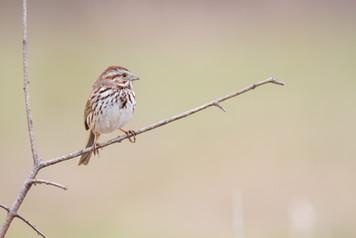 Bruant perché / Perched sparrow
